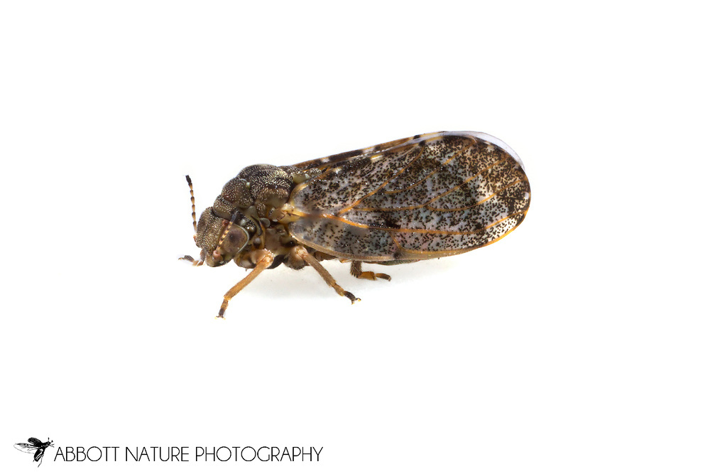 Hackberry Psyllid (Pachypsylla sp.)<br /> TEXAS: Travis Co.<br /> Brackenridge Field Laboratory<br /> Austin<br /> 19-Nov-2012<br /> J.C. Abbott &amp; K.K. Abbott