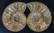 Pair of Large Ammonite Snail Fossils