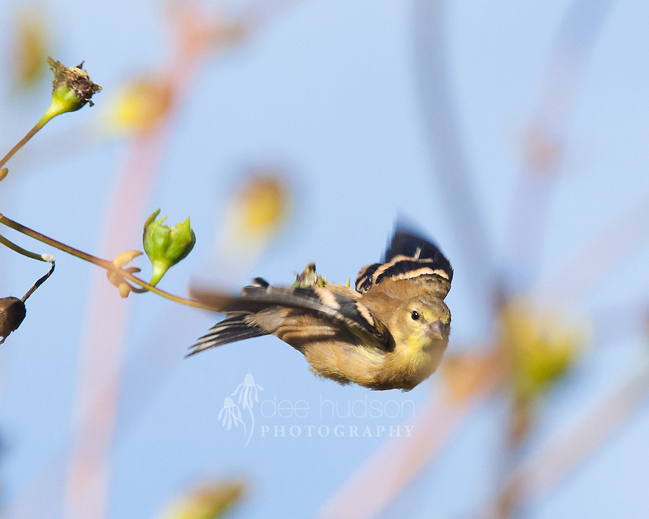 Propelled through the prairie's bounty, this seed&ndash;eater finds plenty to eat here!<br />