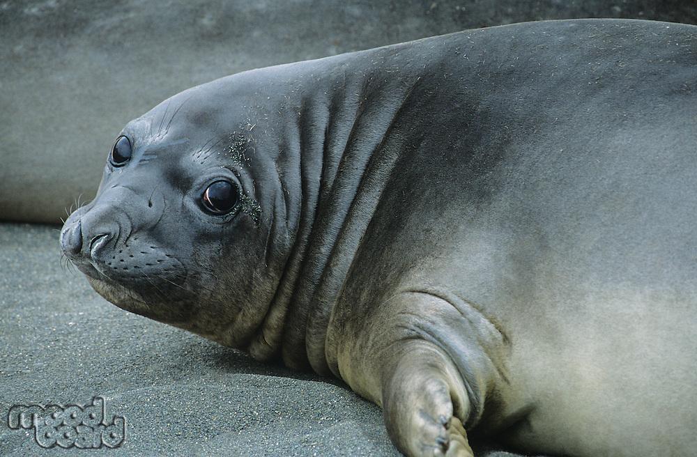 Seal lying on beach