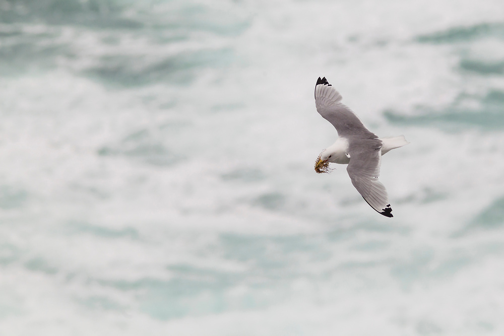 A seabird with nest material in his mouth with both wings open.
