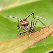 Carpenter ant (Camponotus sp.).