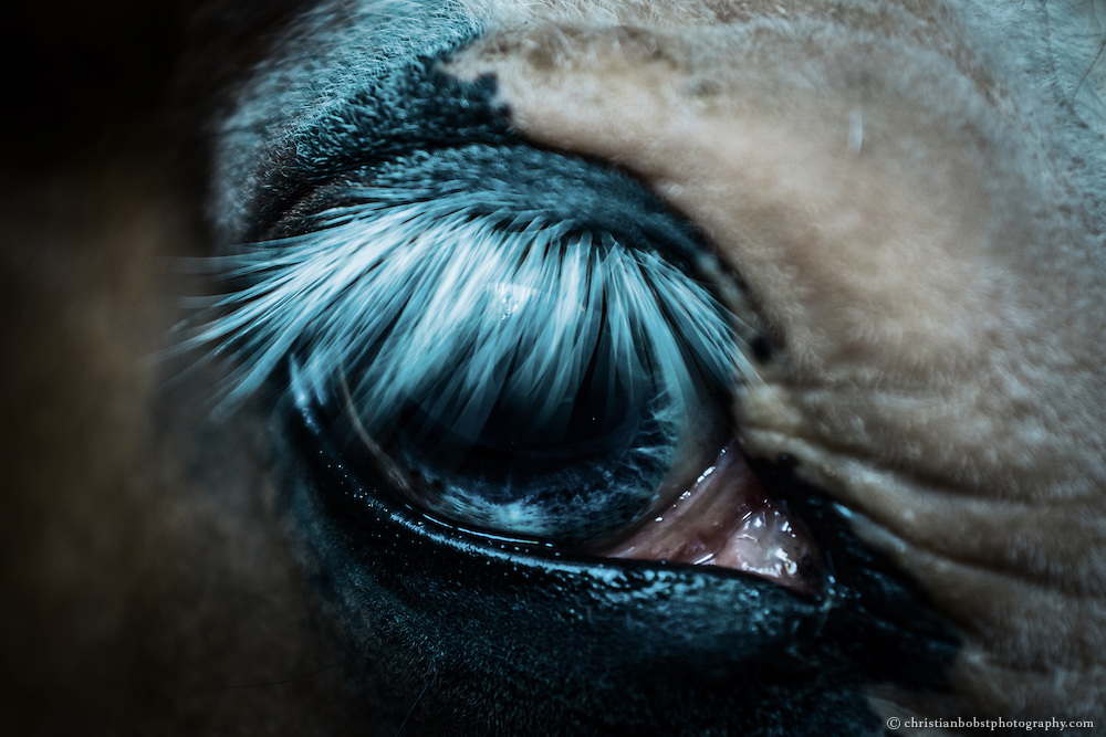 "One of Victor and Hedwig's favorite horses, ""Blue Boy,"" so named because of his one blue eye."
