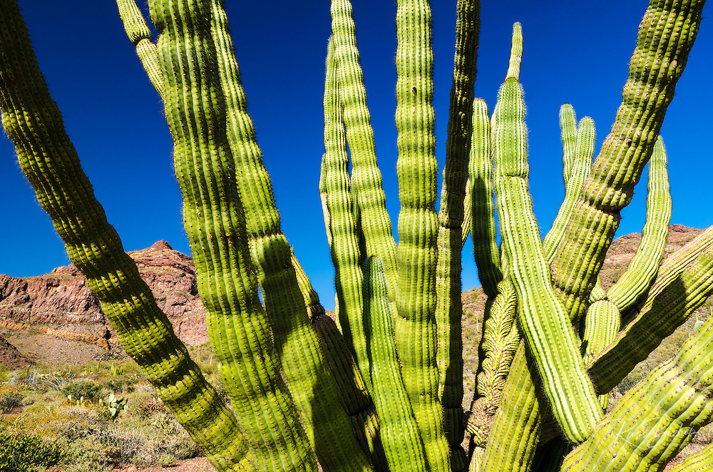 Organ pipe cactus in the Ajo Mountains, Organ Pipe Cactus National Monument, Arizona USA
