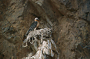 Bearded Vulture (Gypaetus barbatus) at nest, Gobi Desert, Mongolia