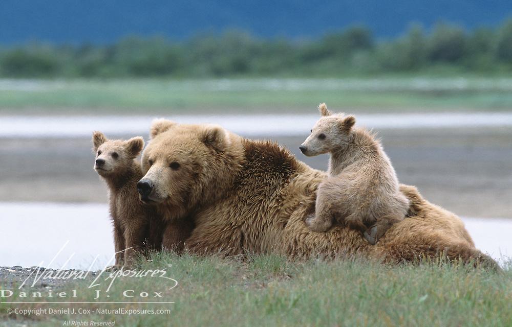 Alaska Brown Bear (Ursus middendorffi) mother and her two cubs resting. Alaskan Peninsula