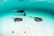 Tourist interacts with southern stingray ( Dasyatis americana ) in blue clean Caribbean waters at Gibbs Cay.