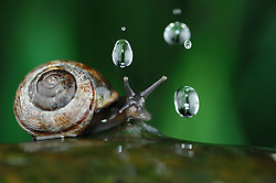 {Story behind the image: I took this photo of the copse snail (Arianta arbustorum) in the Hohen Tauern national park in Austria as part of my oak tree project. This snail is found in the mountains at heights of up to 2700 m. A self-made rain drop generator released 6 drops at a time while a photo was taken automatically shortly after the release. It was quite dry when I took the pictures and the copse snail is attracted by rain and moisture. I wanted to show that there are animals that actually like the rain!} | Gefleckte Schnirkelschnecke (Arianta arbustorum) ist im Gebirge bis auf 2700 m zu finden. Nationalpark Hohe Tauern, Österreich