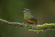 Olive-backed Euphonia <br /> Euphonia gouldi<br /> Northern Costa Rica, Central America