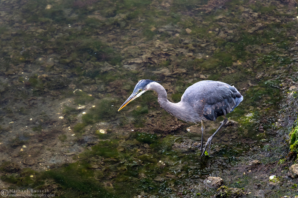 A Great Blue Heron (Ardea herodias) hunts for a meal during a period of low tide. Photographed at Ganges Harbour in Ganges on Salt Spring Island, British Columbia, Canada.