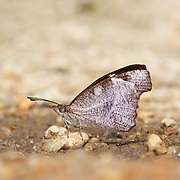 The Whitespotted Beak (Libythea narina) is a butterfly found in Asia that belongs to the Libytheinae group of the Brush-footed butterflies family.