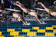 Swimmers dive off the starting blocks during the Milpitas High School swim meet against Newark Memorial at Milpitas High School in Milpitas, California, on February 27, 2015. (Stan Olszewski/SOSKIphoto)