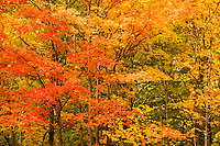 Peak Fall Color Maples at Smugglers Notch, Mount Mansfield State Forest, Vermont