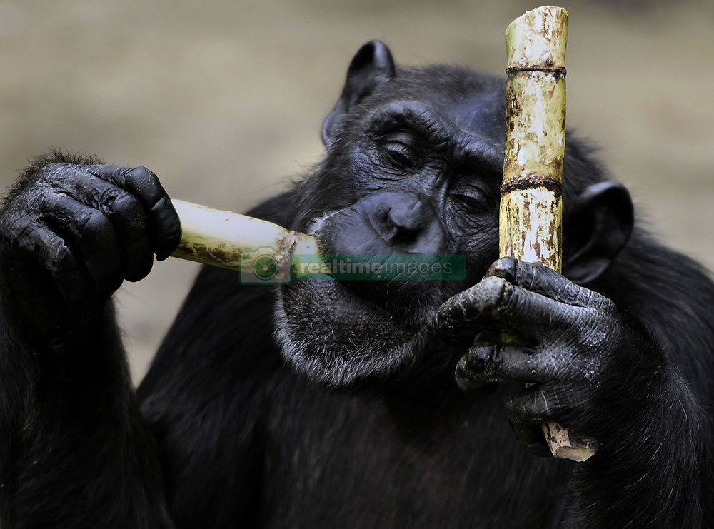 March 9, 2016 - Charlesville, Liberia - Former research chimps are fed by members of Liberian Chimpanzee Rescue on March 9, 2016 after decades of biomedical experimentation in Liberia, West Africa. .LCR is a program of Humane Society of the United States.  HSUS and New York Blood Center came to an agreement recently in May 2017 after years of discussion about the care of research chimps NYBC had abandoned in Liberia, West Africa when they withdrew all funding for food and water.  In March 2016, a team from HSUS visits to view the situation.  NYBC also refused to pay for their caregivers who used their own meager finances to continue feeding them. They now live on six islands serving as a sanctuary.  The HSUS stepped in to assist and improve the dire situation in which the chimpanzees were literally left to die if not for the heroic efforts of their original caregivers who had worked for NYBC and were abandoned as well. (Credit Image: © Carol Guzy via ZUMA Wire)