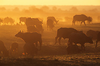 Cape Buffalo (Syncerus Caffer) grazing on savannah at sunset