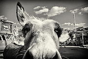 The donkeys in Oatman, Arizona will sniff out anything looking for food.