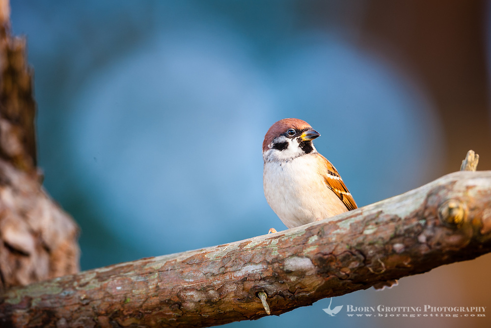 The Eurasian Tree Sparrow breeds over most of temperate Eurasia and Southeast Asia.
