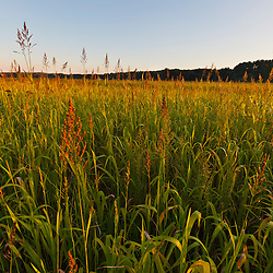 Sudan grass is used as a cover crop in a field in what will become the Northampton Community Farm in Northampton, Massachusetts.