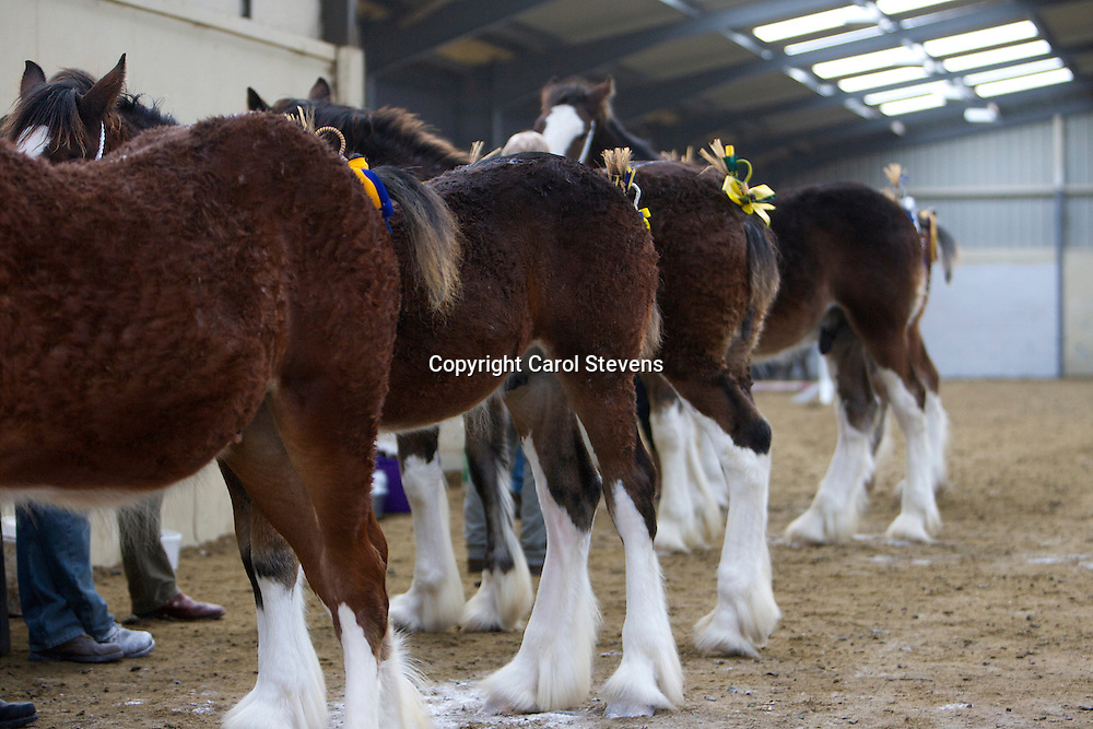 North West and Wales Shire Foal Society <br /> 33rd Annual Show <br /> Collecting Ring