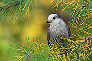 Gray jay in a pine tree in late summer. Yaak valley in the Purcell Mountains, northwest Montana.