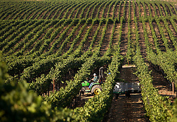 Pinot Noir wine grapes  are harvested in the Carneros District, a cool, wind-swept region that borders the San Pablo Bay and marks the entrance to both Napa and Sonoma valleys. Photo by Kim Kulish