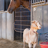 USA, New Mexico, Albuquerque, Goat stands beside thoroughbred horse in paddock before start of races at The Downs at Albuquerque race track