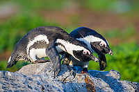African Penguin pair displaying, Bird Island, Algoa Bay, Eastern Cape, South Africa