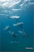 bachelor pod of bottlenose dolphins, Tursiops truncatus, Bay of Islands, North Island, New Zealand ( South Pacific Ocean )