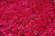 Red Roses unique Quality close up