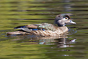 A female wood duck (Aix sponsa) swims in a channel of the wetlands of the Washington Park Arboretum in Seattle, Washington. Wood ducks typically breed in wooded swamps, shallow lakes, marshes or ponds, and creeks in the eastern United States and along the west coast from Washington state into Mexico. They usually nest in cavities in trees close to water. Unlike most other ducks, the wood duck has sharp claws for perching in trees.