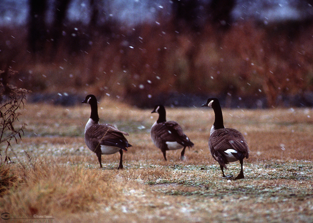 Canada Geese, Branta canadensis is naturally migratory with the wintering range being most of the United States.Their adaptability to human-altered areas has made this the most common waterfowl species in North America.