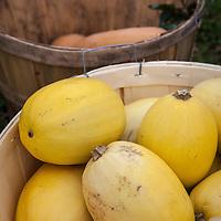 Spaghetti squash in a bushell basket