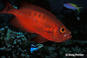 crescent-tail bigeye or goggleye, Priacanthus hamrur, gets cleaned by cleaner wrasse, Labroides dimidiatus, Helengeli, Maldives ( Indian Ocean )