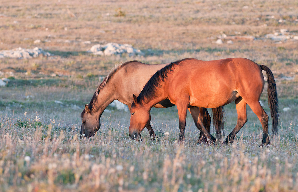 Wild horses grazing in the late afternoon sun in the Pryor Mountains, Montana