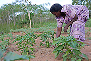 Margaret Nakazi tends to her crops in the Nakasongolo district of Uganda. Margaret is training with Kulika in sustainable organic agriculture.