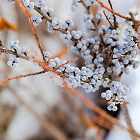 The silver-blue berries of the Bayberry bush in winter (Myrica pensylvanica)