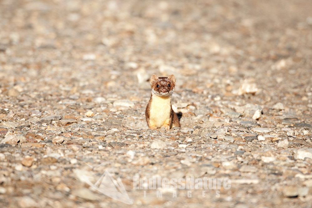 This little Long Tailed Weasel for whatever reason decided to dig its den in the middle of a dirt road.