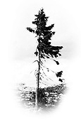"9,500-Year-Old Tree Found in Sweden Is The World's Oldest Tree<br /> <br /> The world's oldest tree, a 9,500-year-old Norwegian Spruce named ""Old Tjikko,"" after Professor Leif Kullman's Siberian husky, continues to grow in Sweden. Discovered in 2004 by Kullman, professor of Physical Geography at Umeå University, the age of the tree was determined using carbon-14 dating.<br /> ""During the ice age sea level was 120 meters lower than today and much of what is now the North Sea in the waters between England and Norway was at that time forest,"" Professor Kullman said  ""Winds and low temperatures made Old Tjikko ""like a bonsai tree…Big trees cannot get as old as this.""<br /> ©Exclusivepix Media"