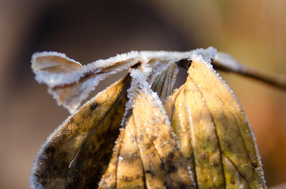 Hoarfrost outlines peony leaves, Bar Harbor, Maine.