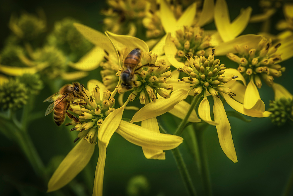 Two bees gathering pollen on yellow flowers in summer