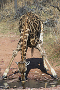 Giraffe (Giraffa camelopardalis) drinking<br /> Marakele Private Reserve, Waterberg Biosphere Reserve<br /> Limpopo Province<br /> SOUTH AFRICA<br /> RANGE: Savanna regions in scattered isolated pockets of Sub-Saharan Africa.
