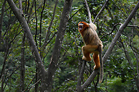 Sichuan Golden Snub-nosed Monkey, Rhinopithecus roxellana, climbing on trees in Yangxian Nature Reserve, Shaanxi, China. He is screaming to impress and show authority.