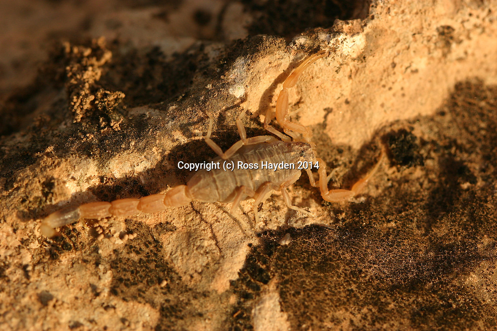 Scorpion on rocky ground - southern Oman