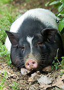 WUHAN, CHINA - (CHINA OUT) <br /> <br /> Pet Pig In Wuhan, China<br /> Mr Min takes a walk with pet pig Zhu Zhu in Wuhan, Hubei Province of China. Zhu Zhu, a BAMA miniature pig, lives with Mr Min and his wife in a 23-square meter room. It has become a member of the family. The pig is quite smart, and is even trained to pee into a urinal to keep the room clean. <br /> ©ChinaFoto/Exclusivepix