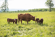 A Devon cow and 5 calves in an Adirondack paddock