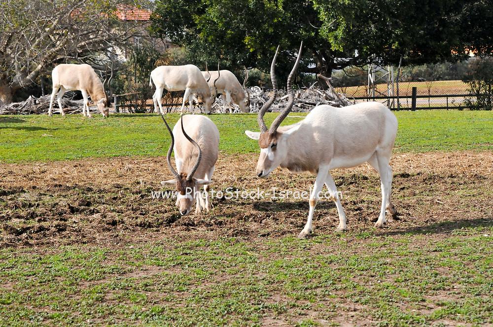 A herd of Arabian oryx or white oryx (Oryx leucoryx) in captivity.