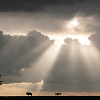 Wildebeest in silhouette on a ridge during a storm at sunset in the Maasai Mara National Reserve, Kenya