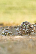 Burrowing Owls nest in burrows, usually excavated by prairie dogs and squirrels.  These wild burrowing owls were found in Northern California.