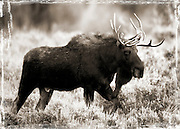 Best-Moose-Alces alces-Teton National Park-Photos-A bull moose (Alces alces) comes out from the trees at Teton National Park.