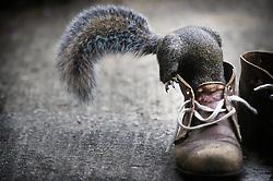 Grey squirrel climbing over and into boots in a suburban garden, Leicester, England, UK.